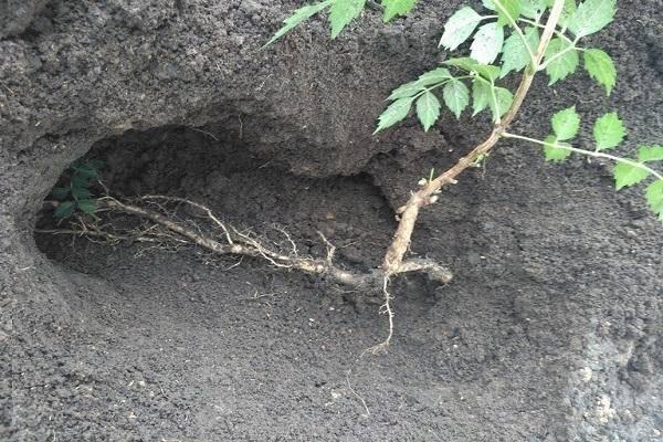 Кампсис –  неприхотливая лиана для сада