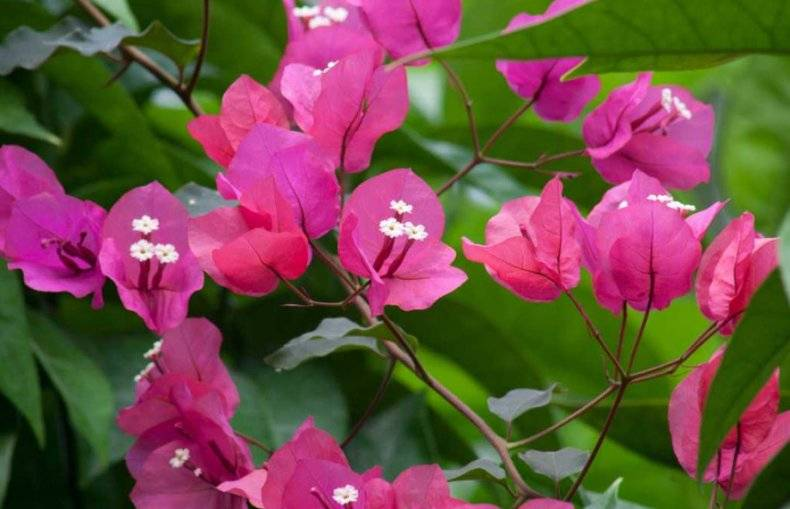 Можно ли выращивать бугенвиллию в открытом грунте?