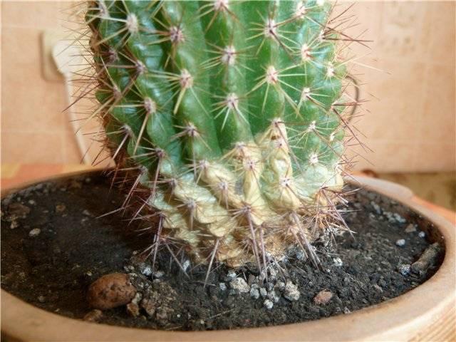 Болезни и вредители кактусов как обнаружить и остановить
