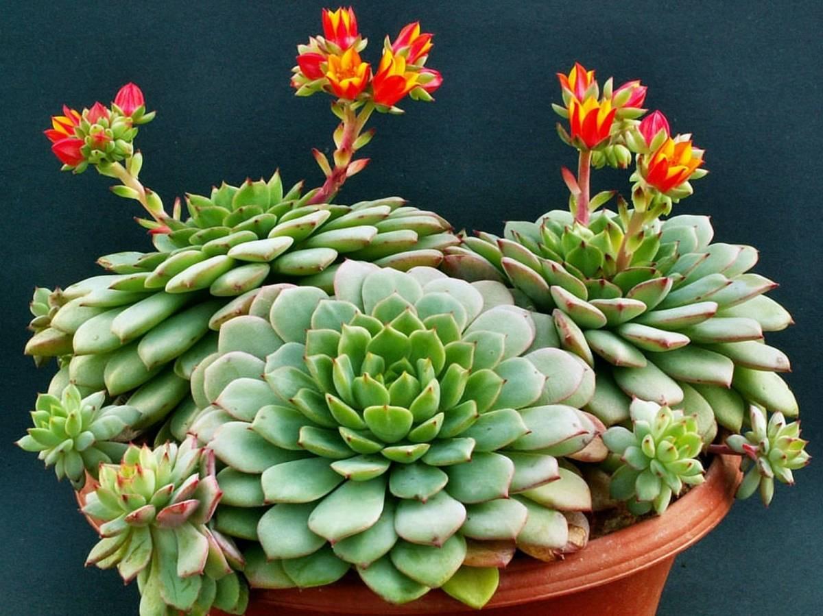 Эхеверия цветок уход в домашних условиях пересадка и размножение