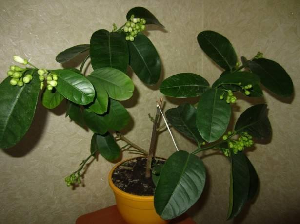 Как посадить лимонную косточку в домашних условиях