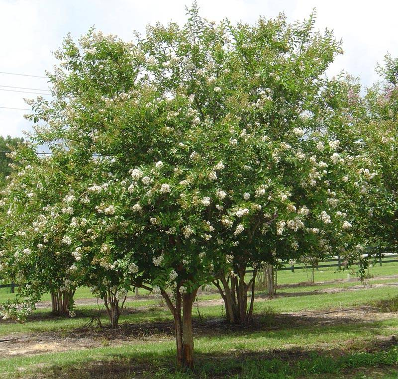 Комнатное дерево мирт