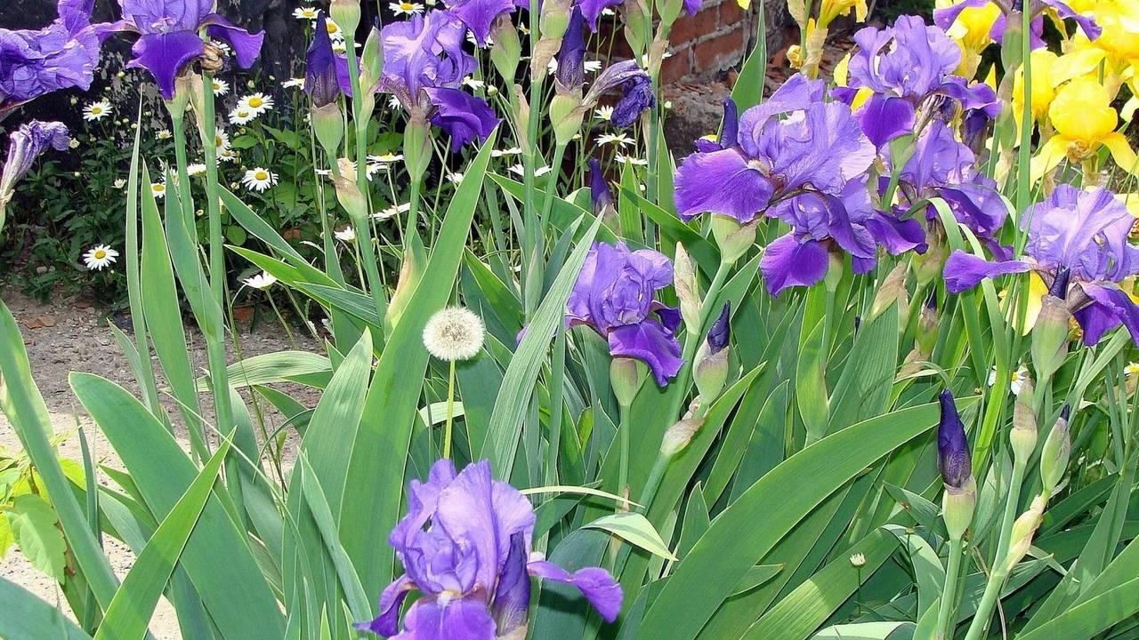 Фото ирисов и других цветов