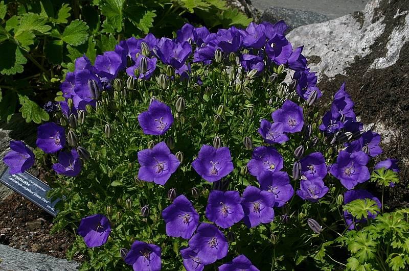 Цветы колокольчик карпатский