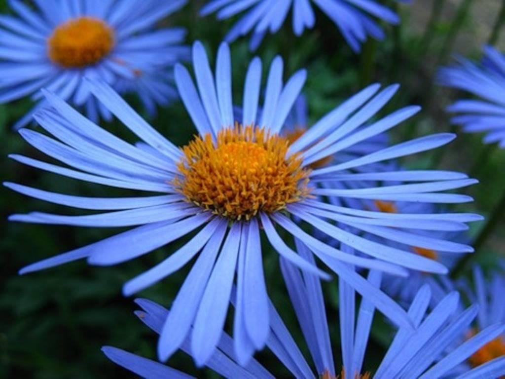 Цветы как ромашка с синей серединкой название. Ромашка садовая многолетняя: посадка и уход.