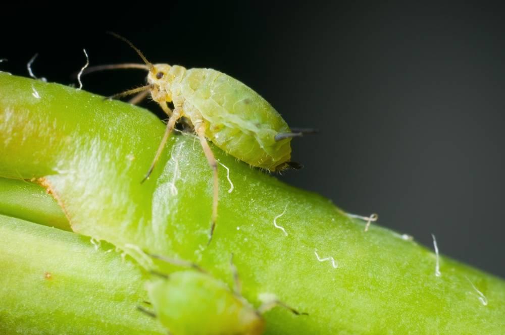 Тля на комнатных растениях — как бороться в домашних условиях