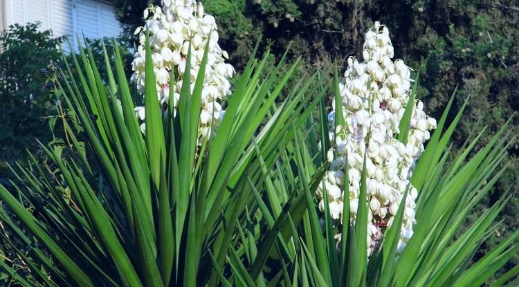 Юкка садовая цветок уход