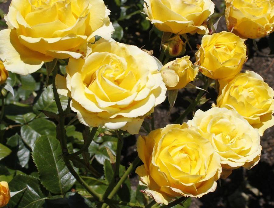 роза сорт казино