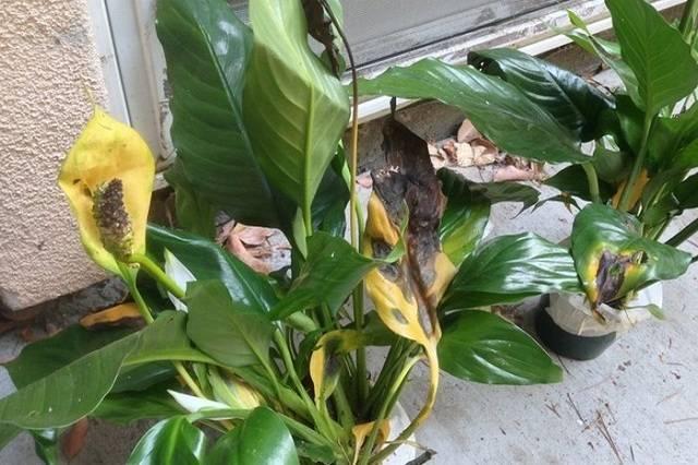 Чернеют листья у спатифиллума как лечить