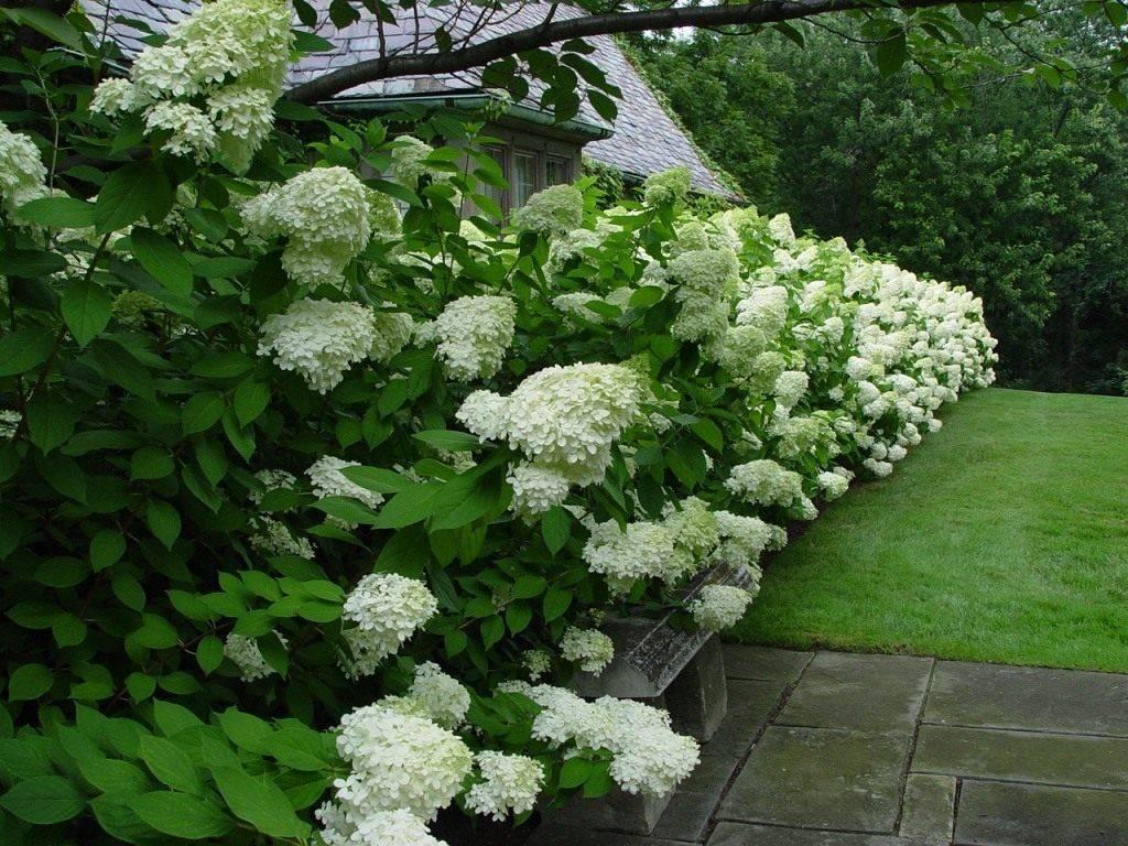 С чем посадить гортензию в саду