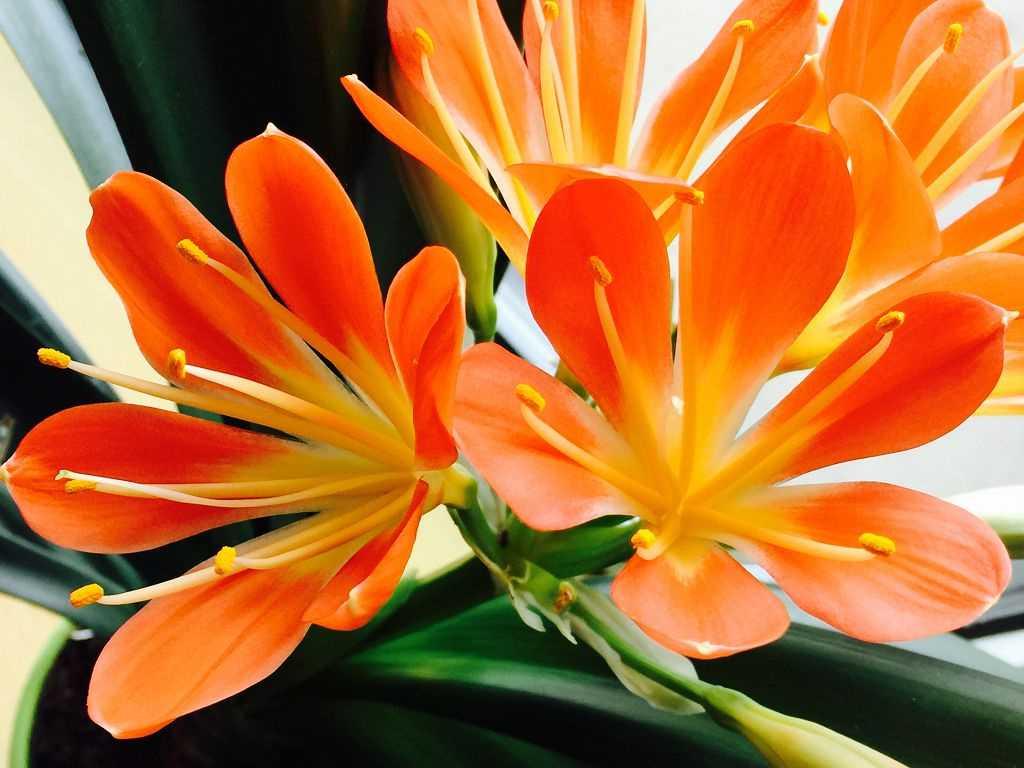 Цветы любящие тень для дома