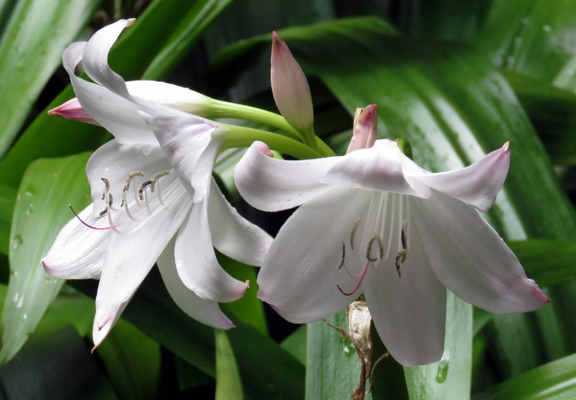 Кринум волнистый и садовый каламистратум и азиатский Мура и Пауэлла Содержание цветка в домашних условиях Посадка и уход в открытом грунте
