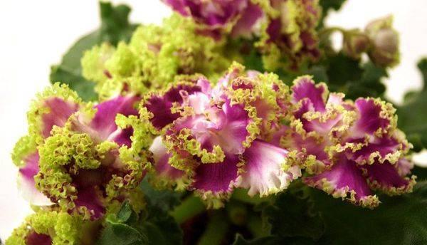 Фиалка Ледяная роза 22 фото описание сортов PC-Ледяная роза и Ле-Ледяная Роза