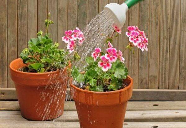 Полив герани в домашних условиях: как часто поливать и можно ли опрыскивать