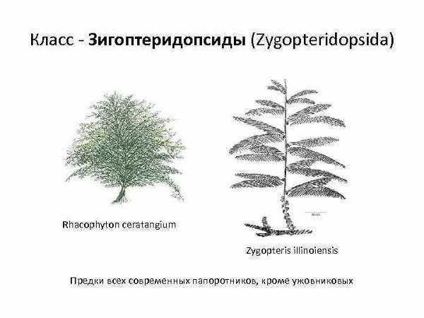 Папоротник это высшее или низшее растение
