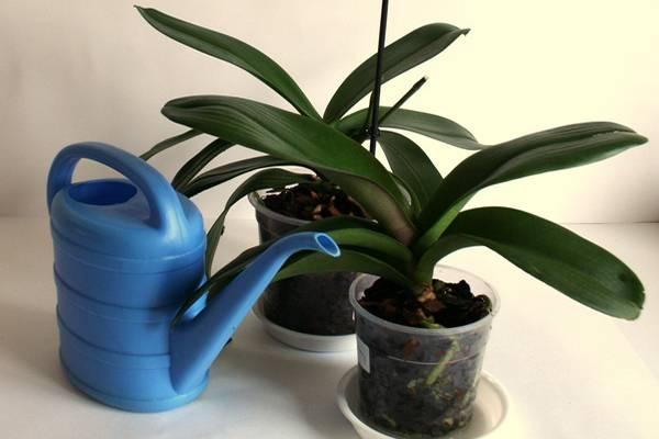 Почему не распускается орхидея
