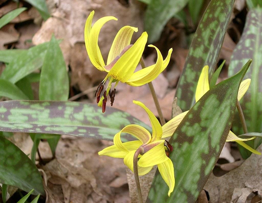 Цветок эритрониум