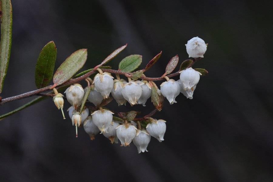 Как выглядит домашний цветок мирт и как правильно за ним ухаживать