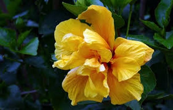 Гибискус или цветок смерти: виды, фото и полезные свойства