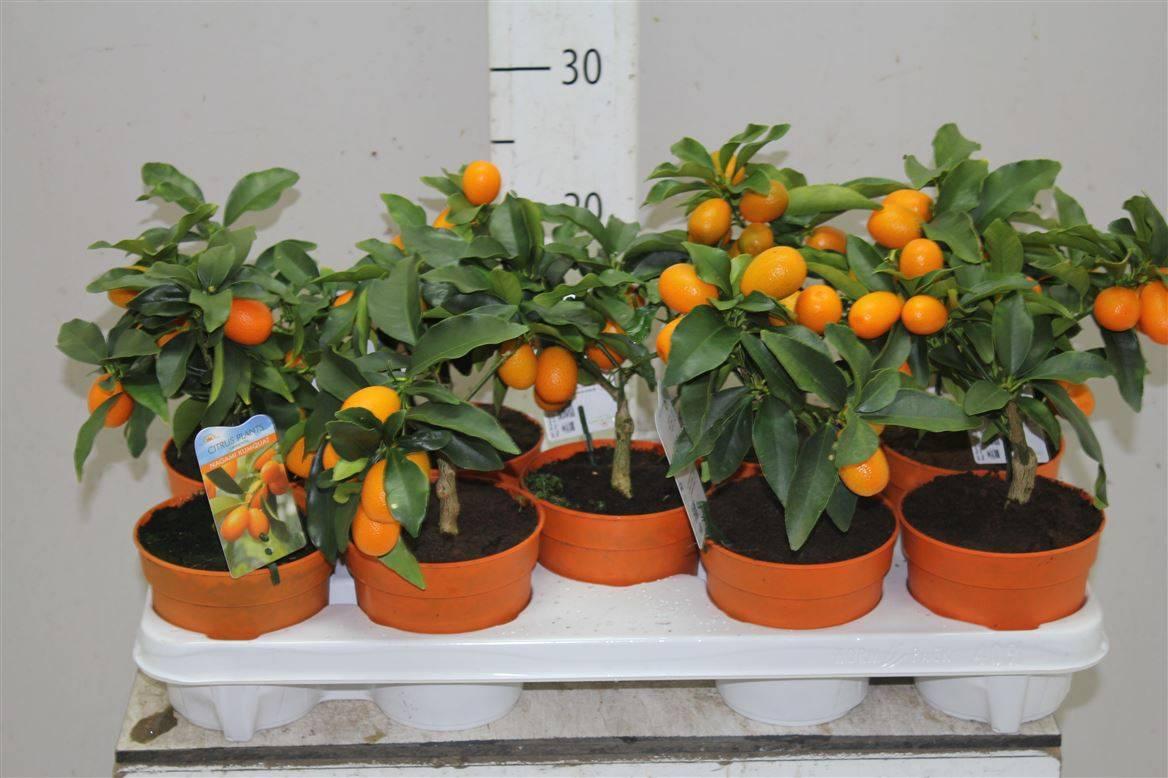 Мандариновое дерево домашнее растение