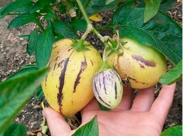 Список овощей, относящихся к Пасленовым культурам, овощи семейства Пасленовые
