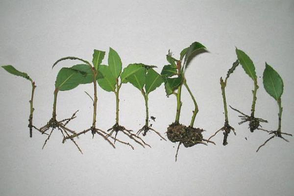 Где растет лавровый лист