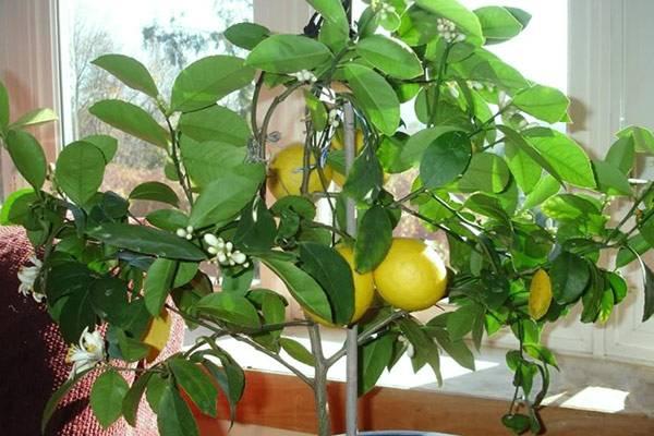 Цитрусы комнатные: виды растений, выращивание из косточки, болезни цитрусовых
