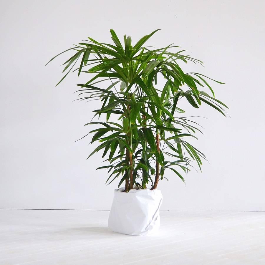 Вазон пальма