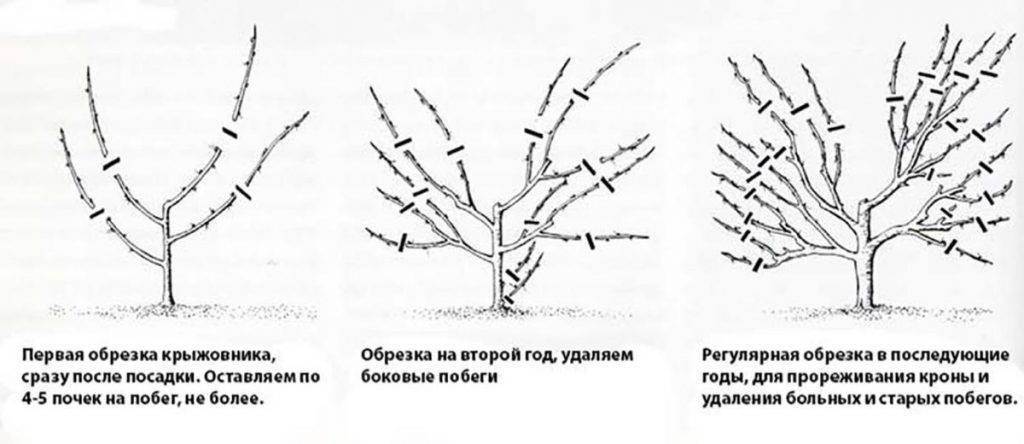 Как правильно обрезать крыжовник весной• видео, схема в картинках