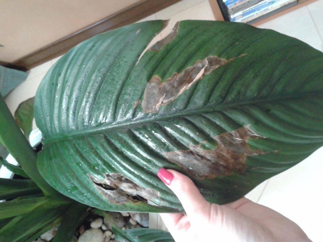 От чего чернеют листья у спатифиллума