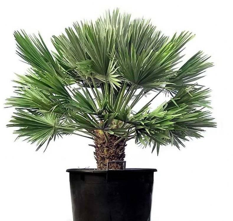 Виды комнатных растений похожих на пальму и уход за ними