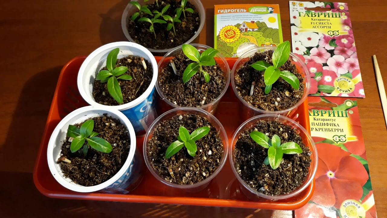 Катарантус описание сортов выращивание из семян правила ухода