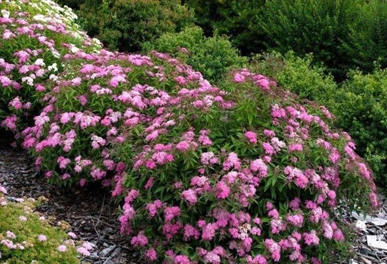 Спирея японская Литл Принцесс (Little Princess) купить по цене 480,00 руб. в Москве в питомнике растений Южный