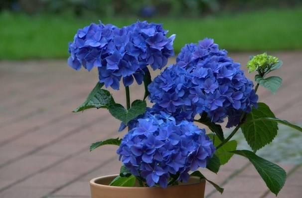 Как сделать гортензию голубой Что делать для изменения цвета в голубой Чем полить гортензию Используем народные средства