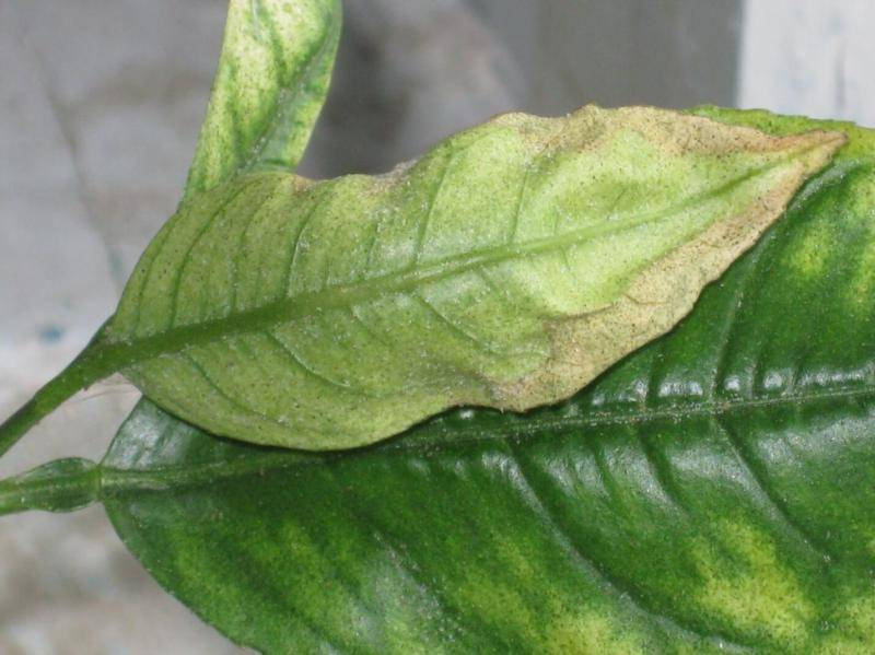 Почему к комнатного дерева лимона сохнут кончики листьев