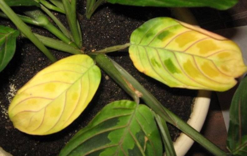 Как выглядит цветок маранта