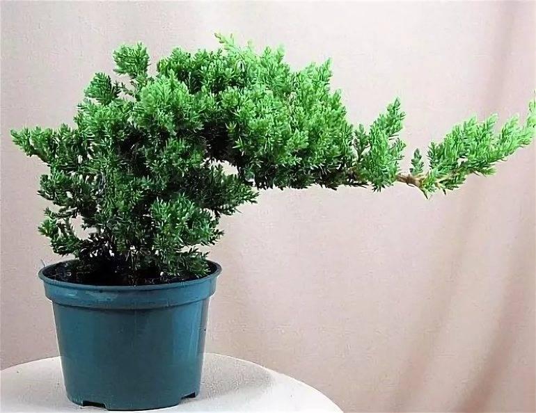 Дерево в комнате