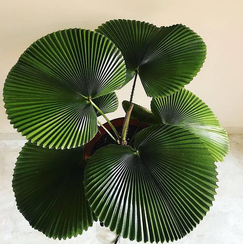 Как называется цветок похожий на пальму