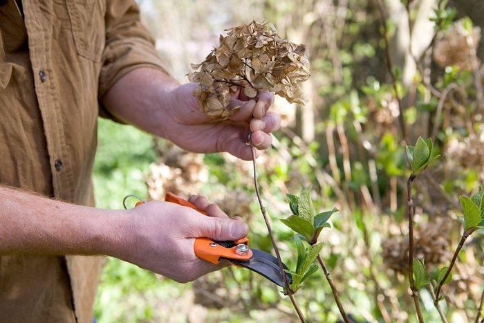 Почему не цветет гортензия а дает только листву