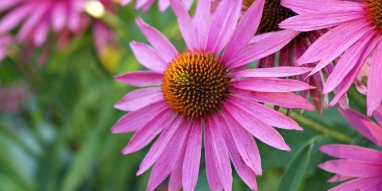 Эхинацея пурпурная сорта