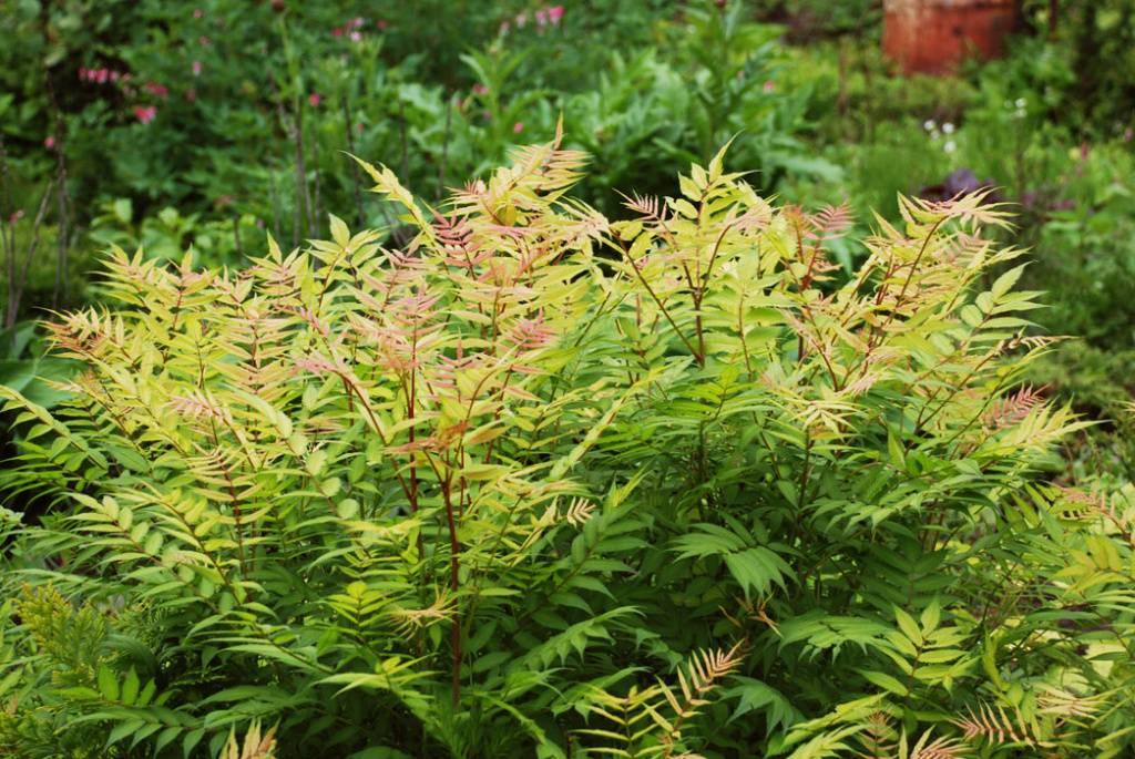 Растение с листьями как у рябины