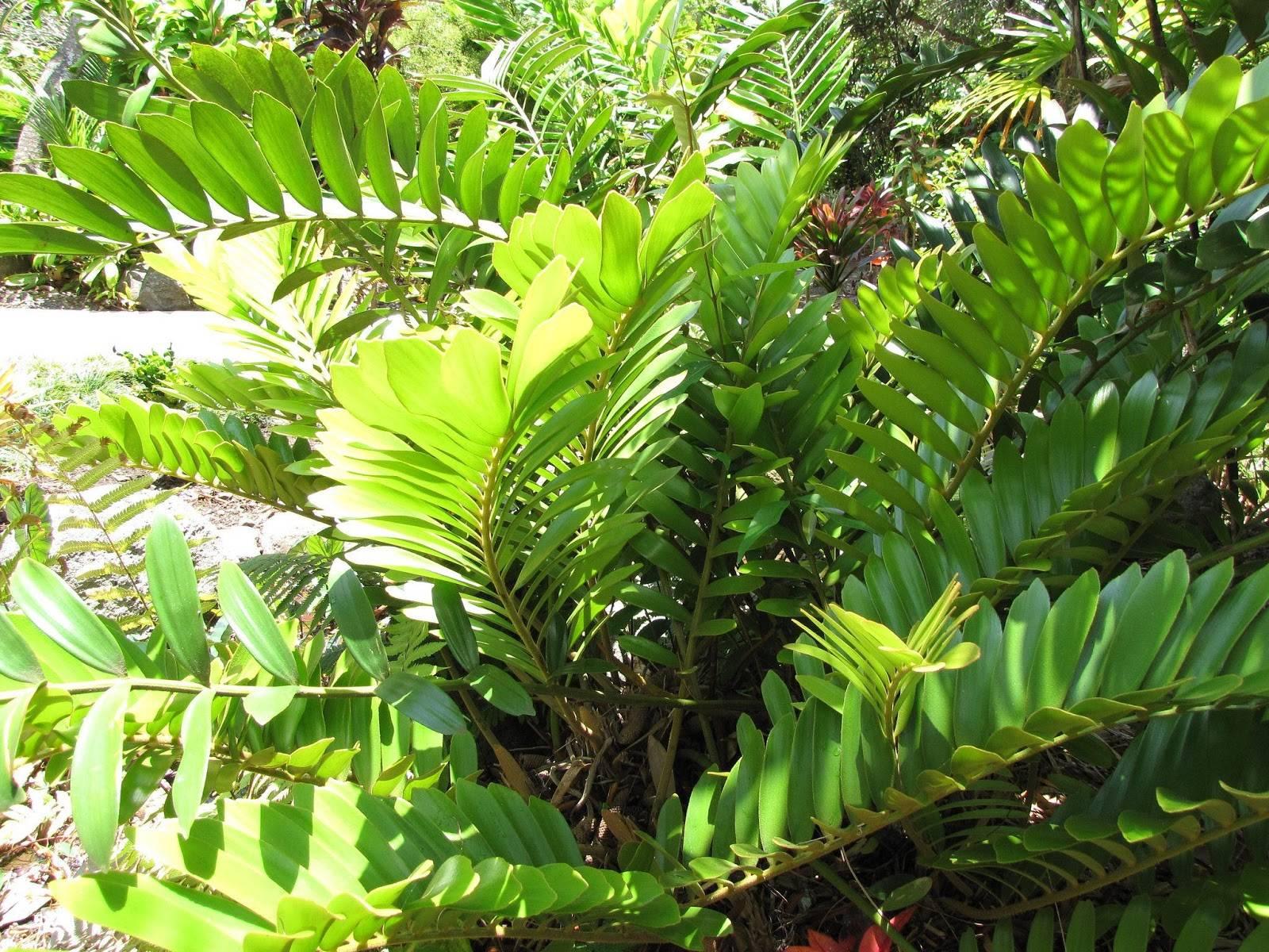 Долларовое дерево в домашних условиях: как ухаживать, размножить и пересадить
