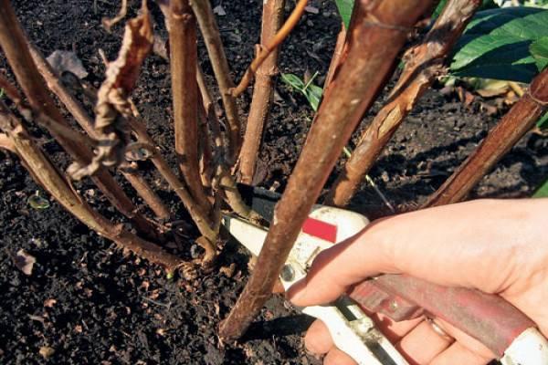 Обрезка гортензии весной для начинающих