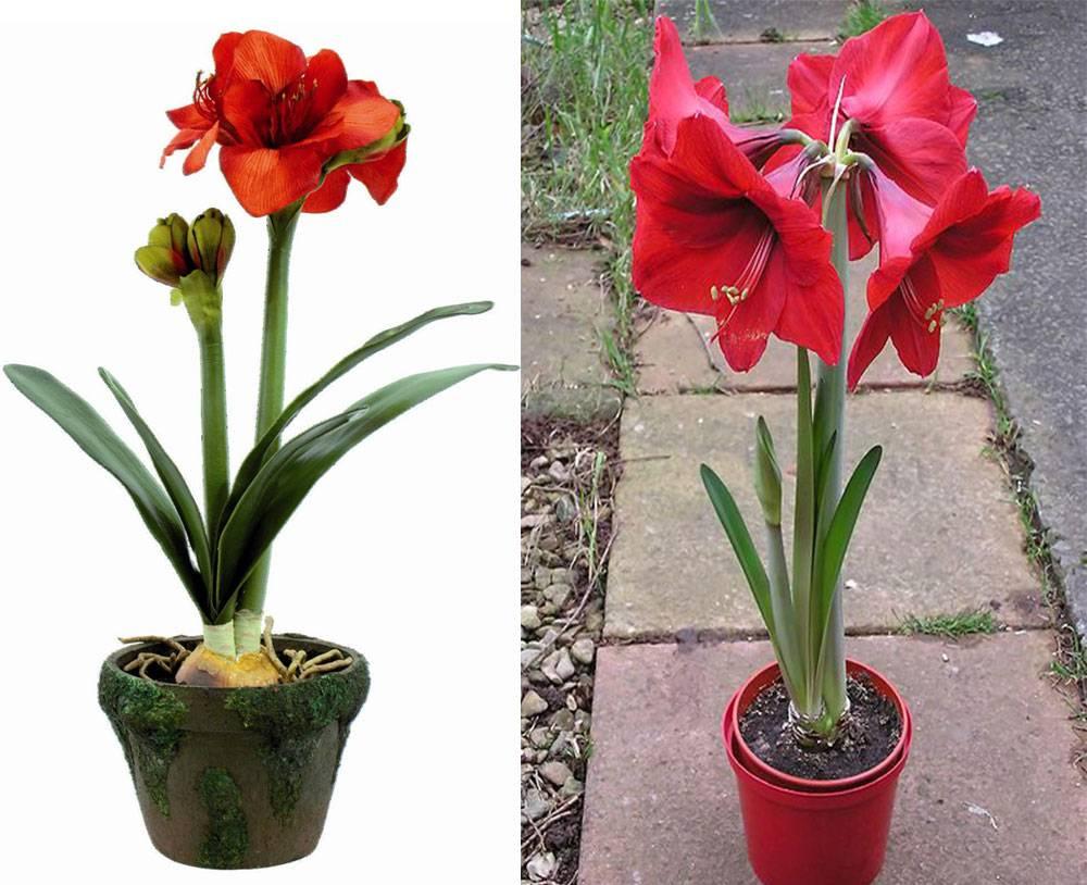Цветы похожие на гиппеаструм