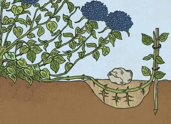 Как размножить гортензию черенками летом – пошаговая инструкция [2019]