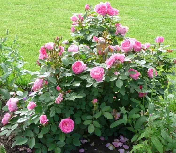 Роза прейри джой описание
