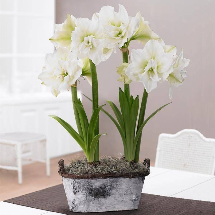 Как заставить цвести комнатный амариллис после периода покоя. Почему амариллис не цветет?