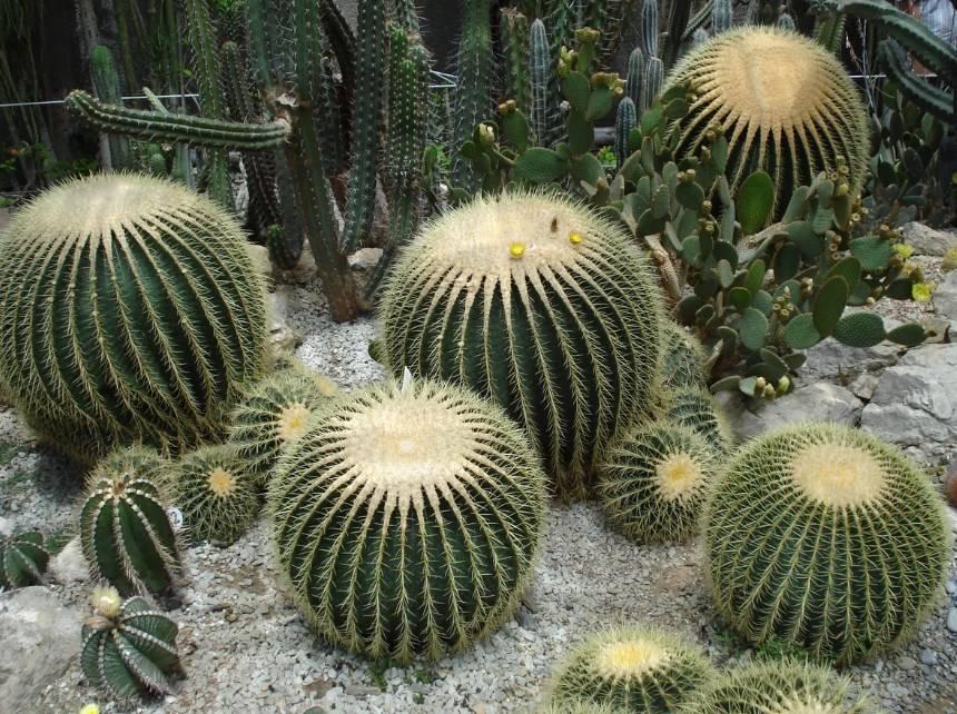 Название кактуса без колючек