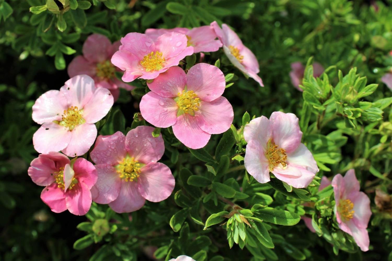 Лапчатка кустарниковая желтая, белая, розовая