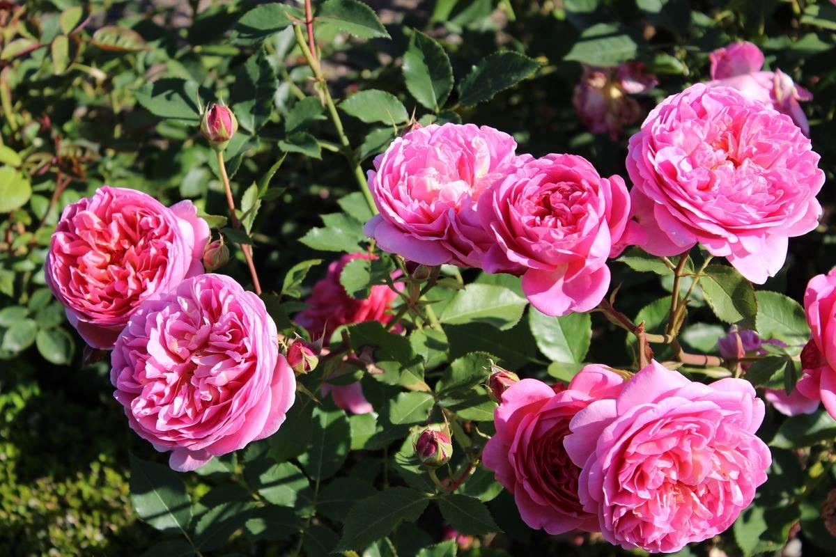 Выращивание «остинки» сорта Боскобель: уход за розой, нюансы посадки и полива